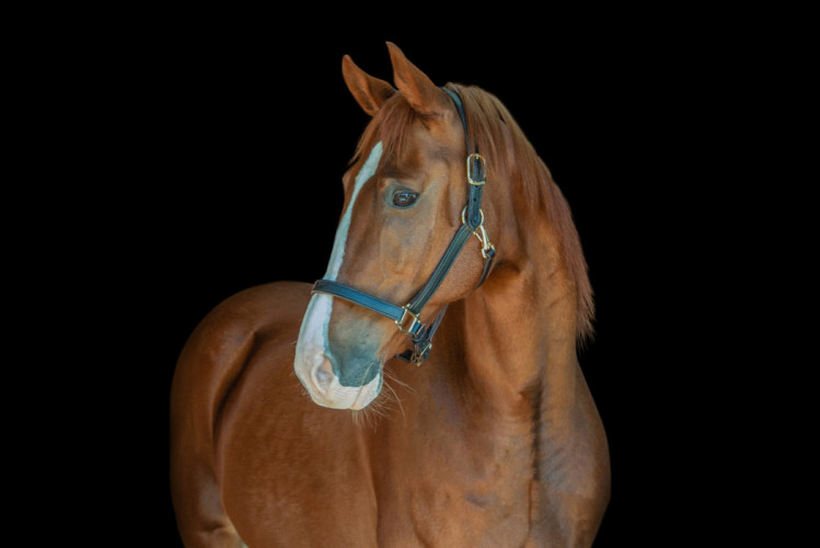 Portrait of a Saddlebred