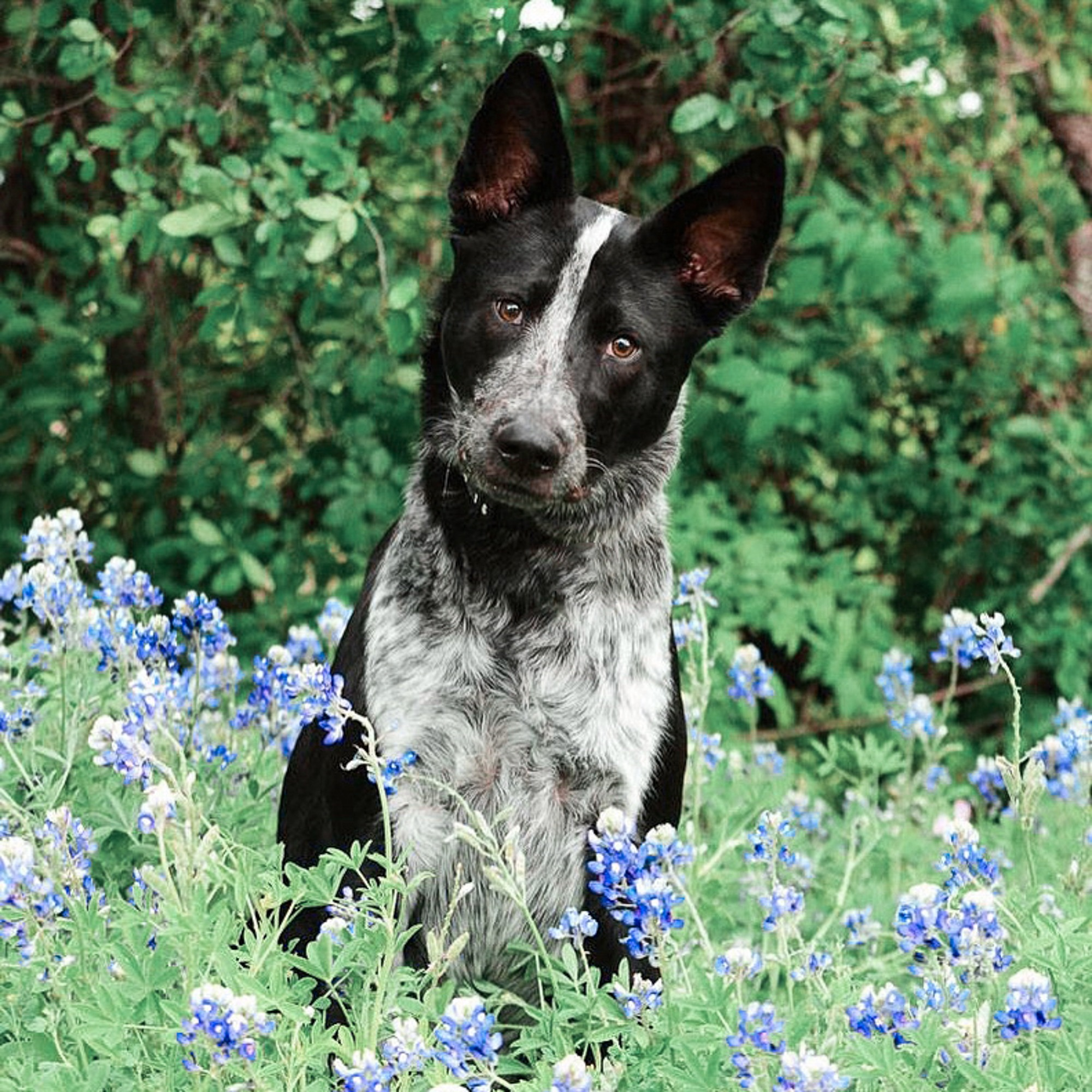 blue heeler dog portrait in the bluebonnets