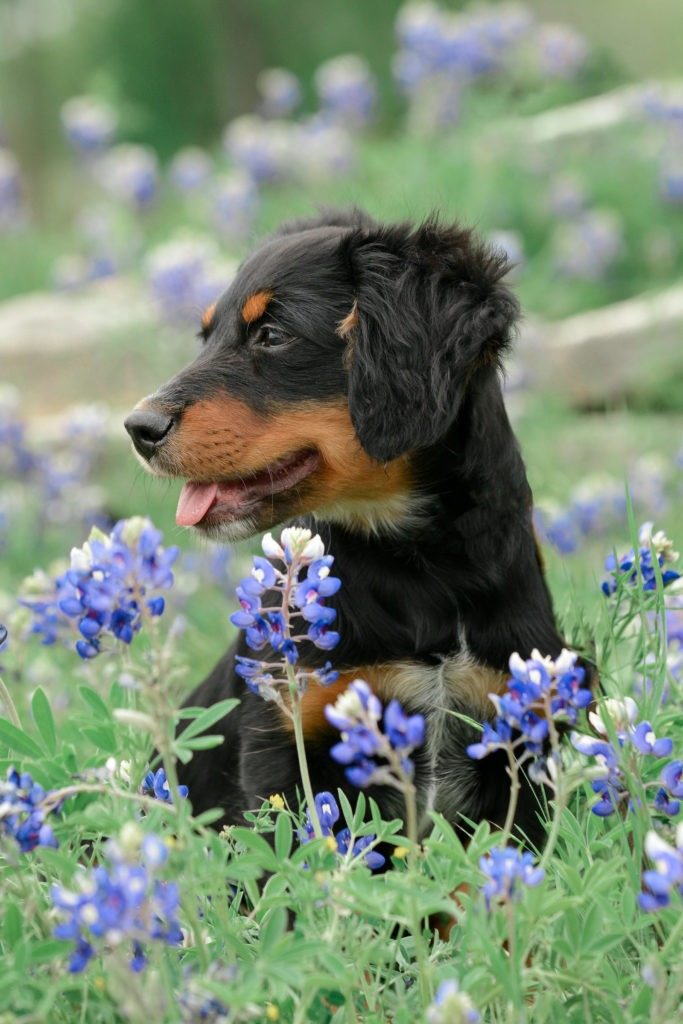 Long haired daschund in the bluebonnets