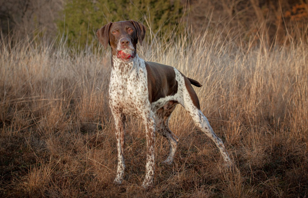 German Shorthaired Pointer in the long grass