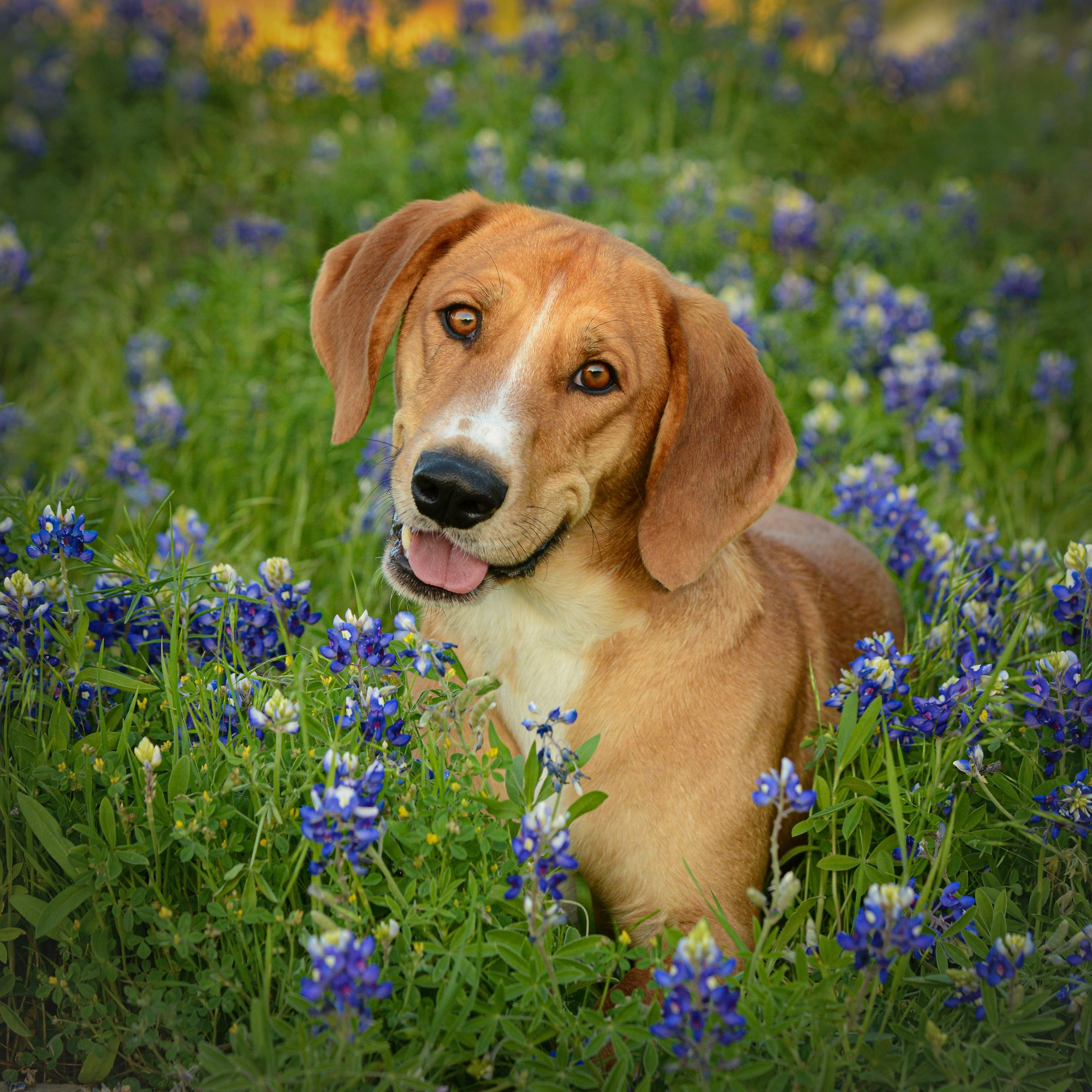 Shelter dog in the bluebonnets Allen Texas