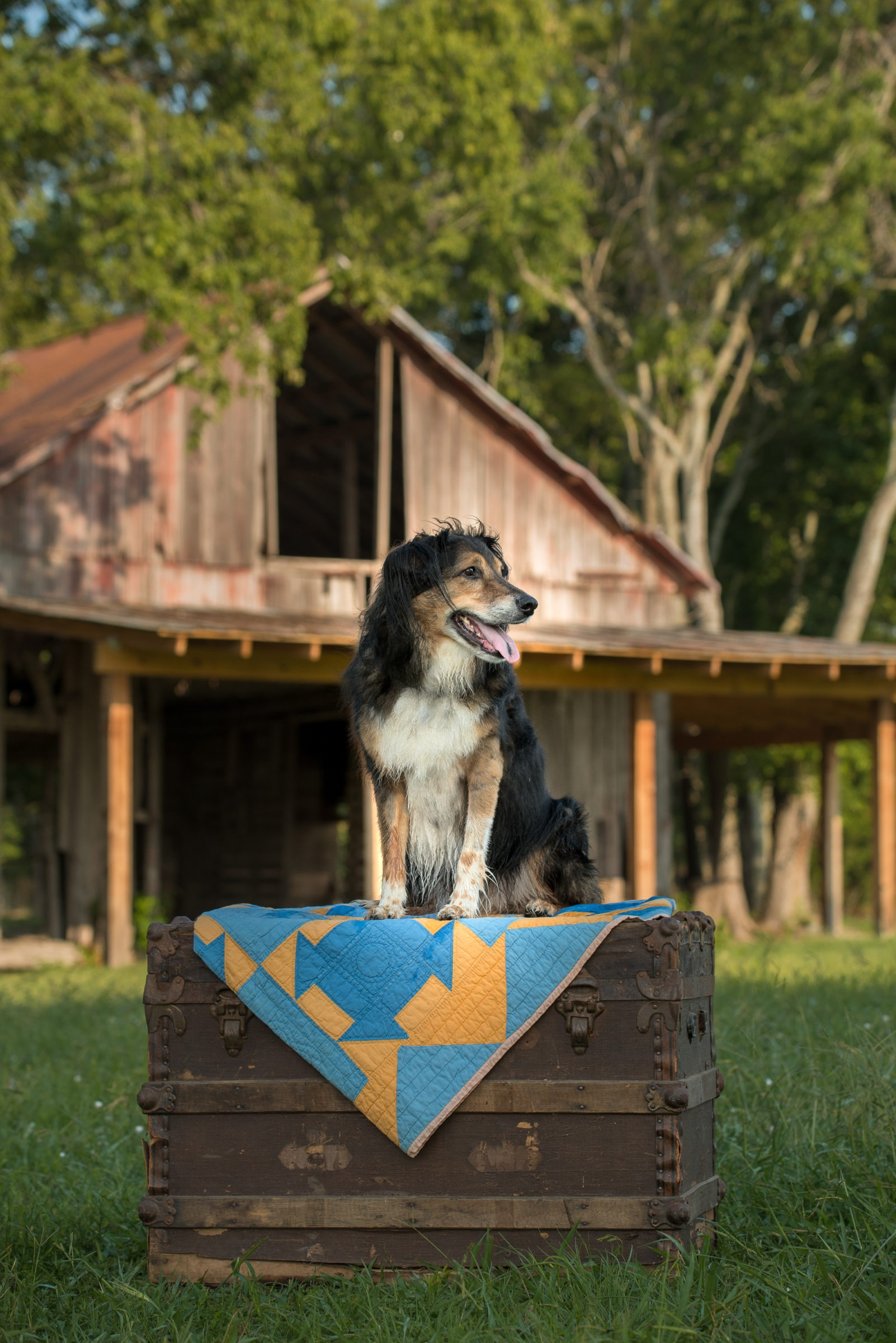 Border Collie mix dog with 100 year old barn in Parker Texas
